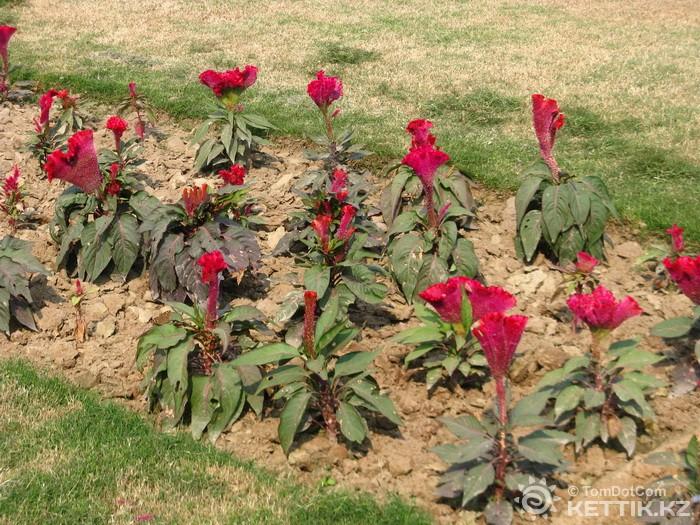 Ирис (растение) Википедия