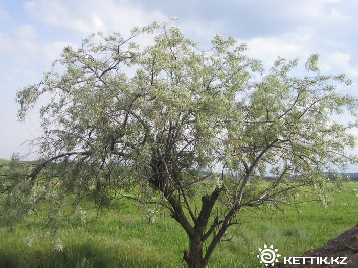 джуда дерево фото