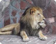 Лев в алматинском зоопарке