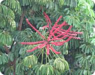 Кубинский цветок