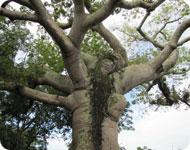 Мега дерево