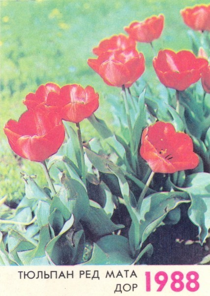 Тюльпан ред матадор