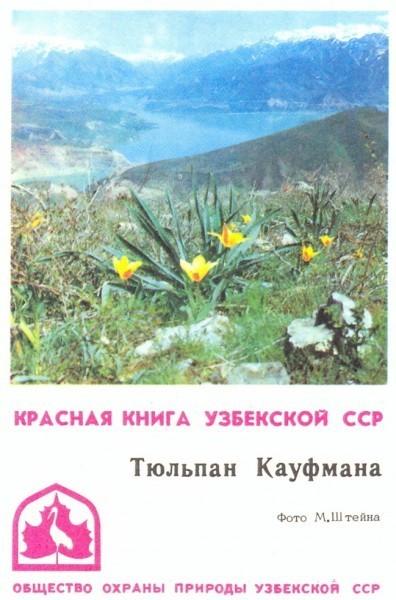 Тюльпан Кауфмана