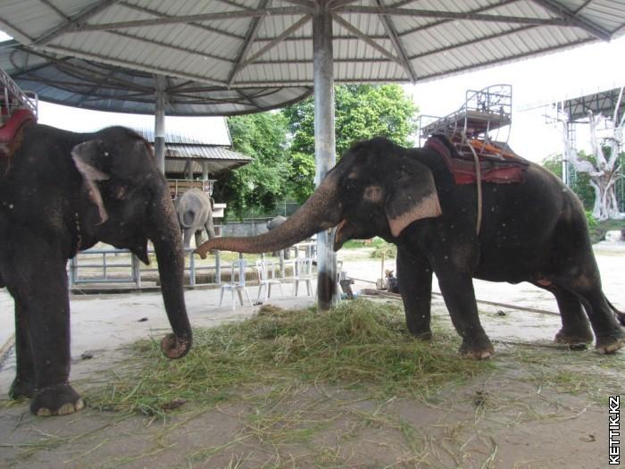 Верховые слоны