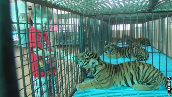 Кормление тигрят