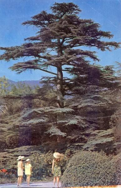 Кедр ливанский
