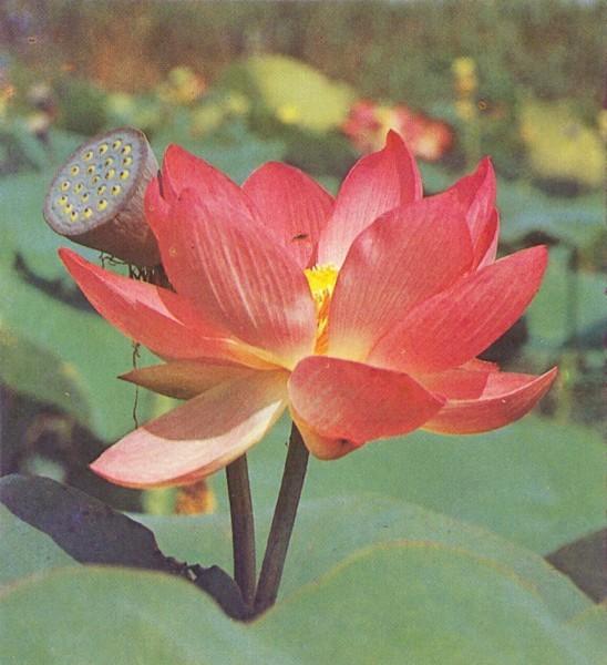 Каспийская роза