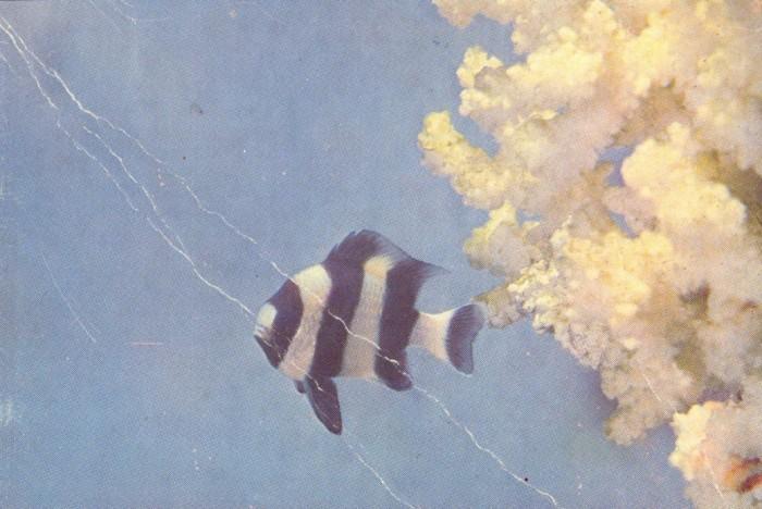 Рыба-матросик