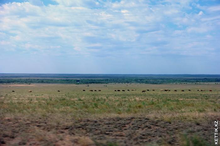 Скот в степи
