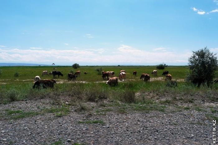 Коровы в степи