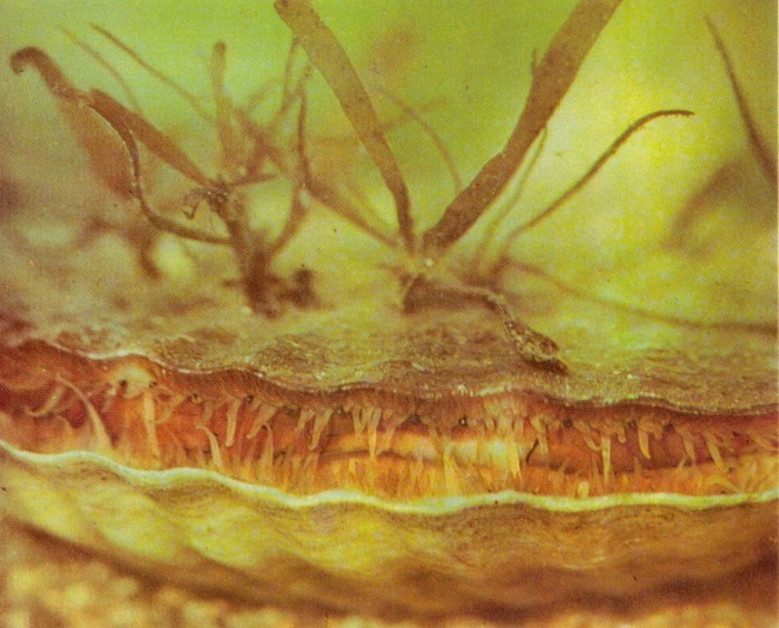 Приморские гребешки