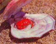 Прибрежный краб