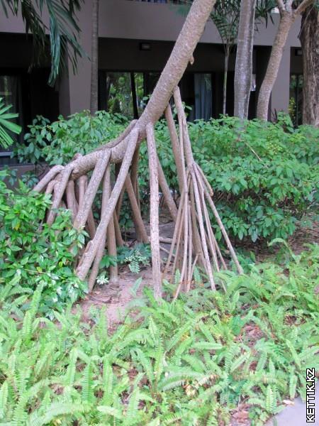 Мангровое дерево