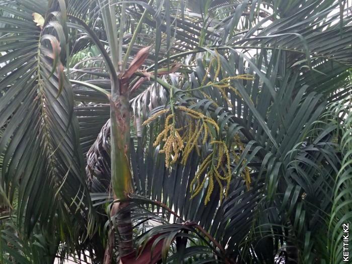 Ягоды на пальме