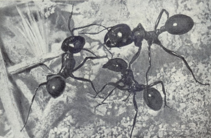 Муравьи жнецы