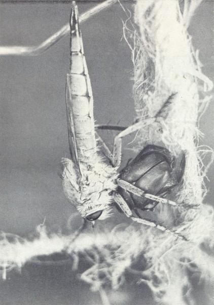 Гигантский ктырь