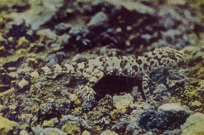 Голопалый геккон
