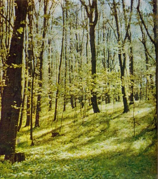 Грабовая дубрава весной