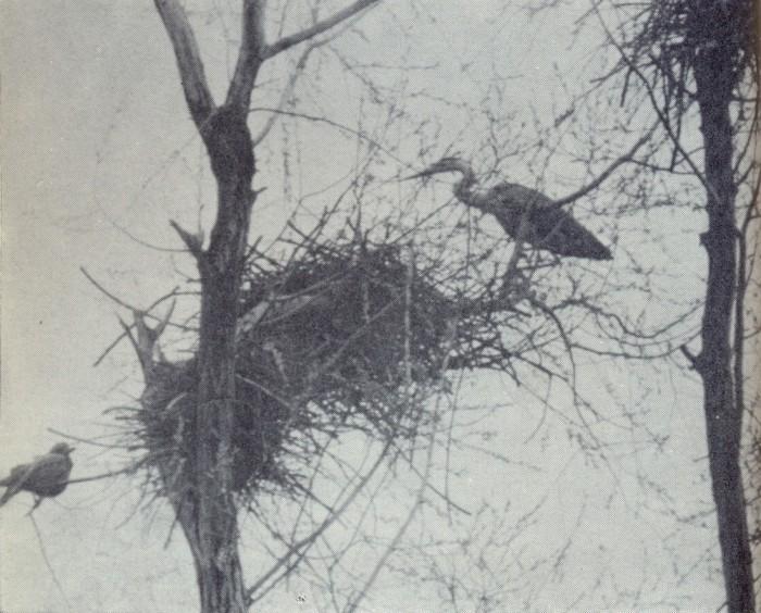 Гнездо серой цапли
