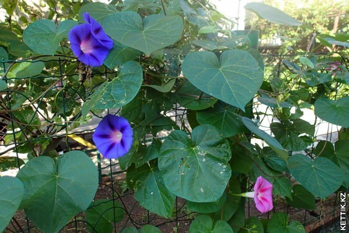 Цветы Граммофон
