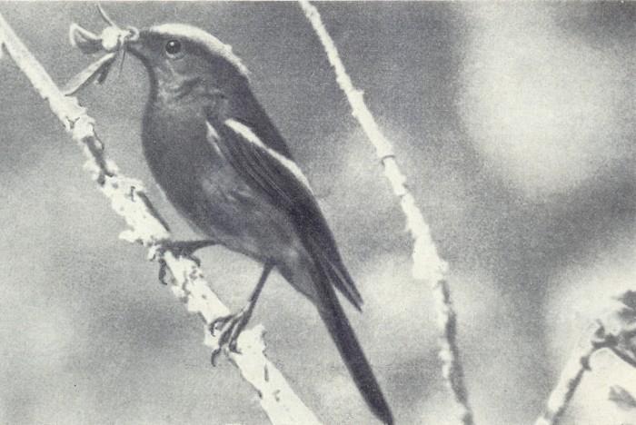 Седоголовая горихвостка