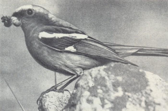 Красноспинная горихвостка