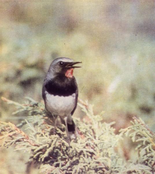 Черногрудая красношейка