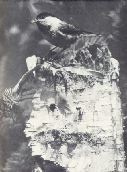 Синица-пухляк
