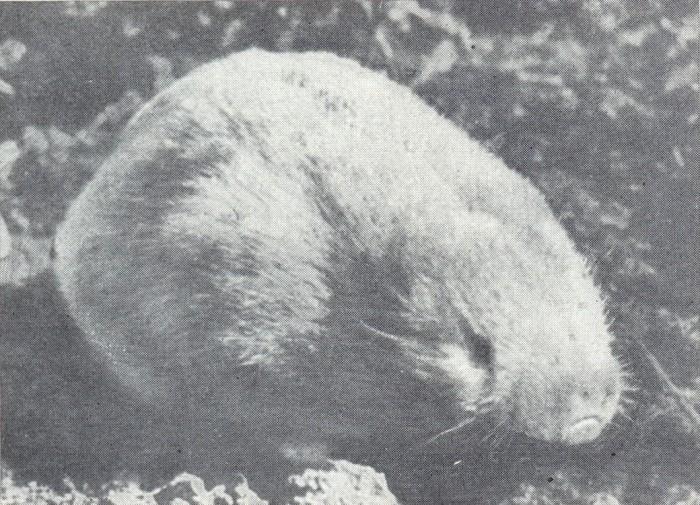 Алтайский цокор