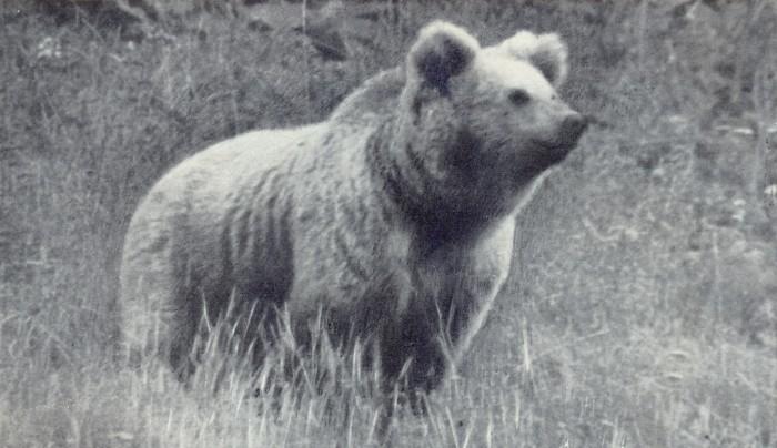 Тянь-шаньский медведь