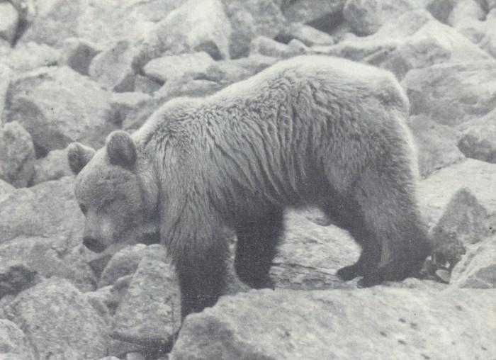 Алтайский медведь