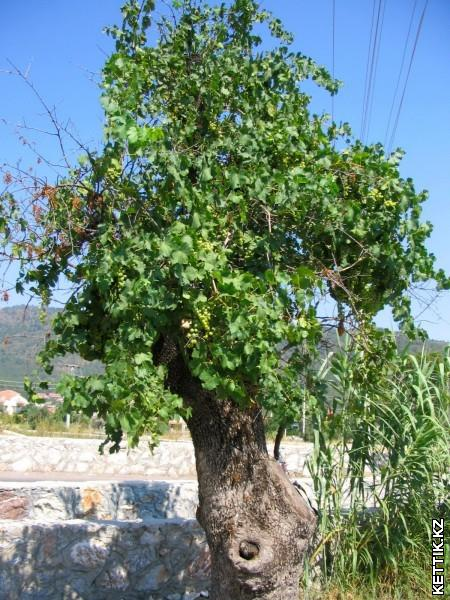 Виноград на дереве