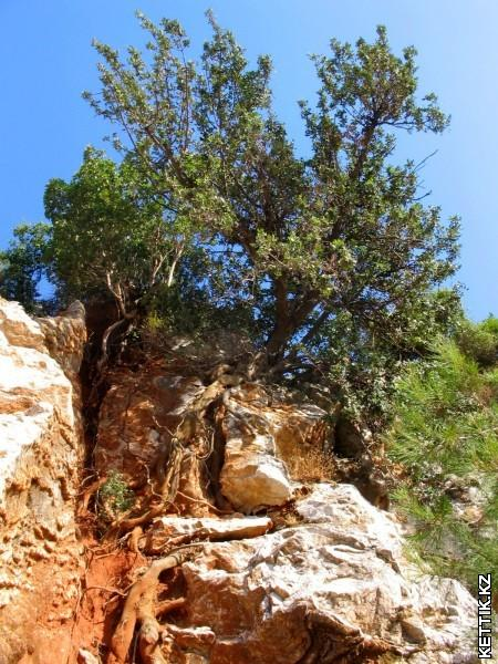 И на камнях растут деревья