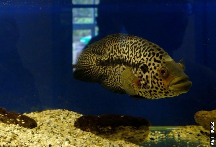 Рыба ягуар