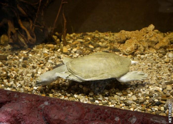 Черепаха с мягким панцирем