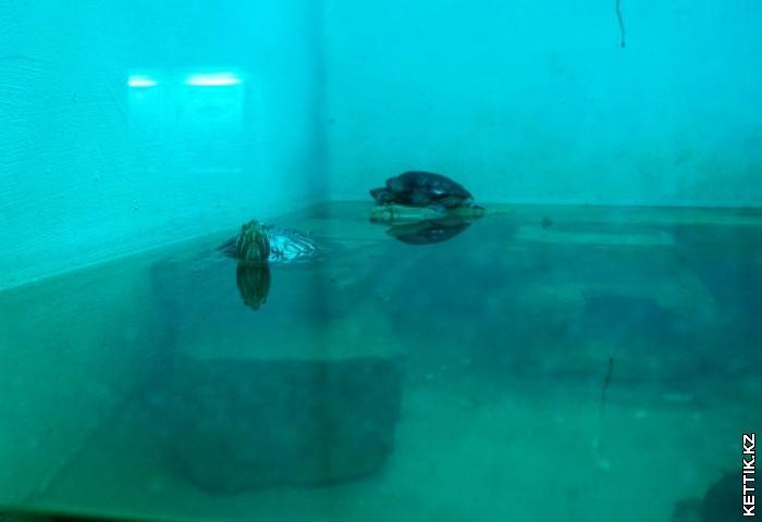 Черепаха аквариумная
