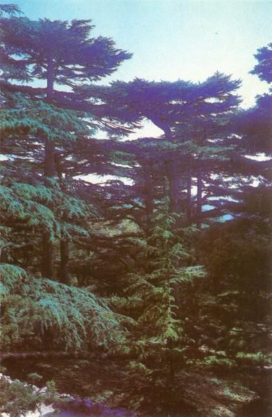 Ливанские кедры
