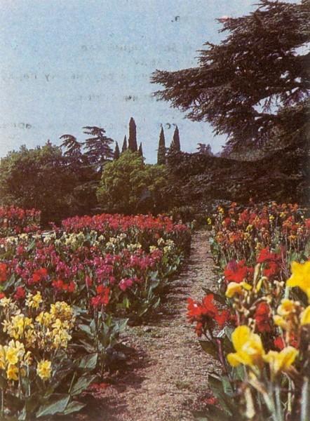 Канны цветы