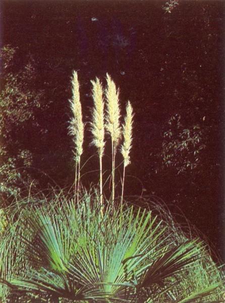 Пампасская трава