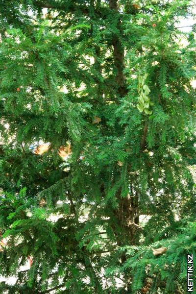 Хвойное дерево с плодами