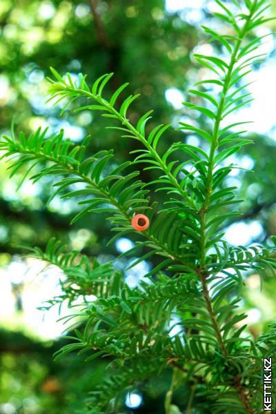 Плоды хвойного дерева